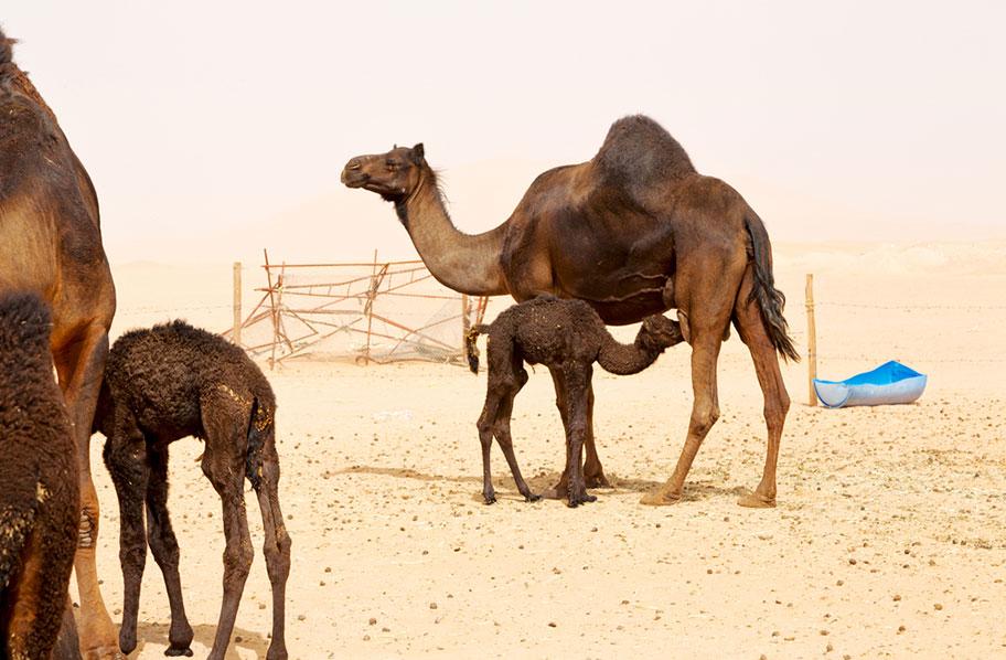 Oman Ferien mit Kindern Kamelreiten